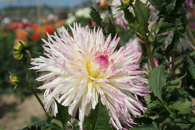 white dahlia flower tinged with pink