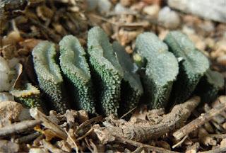 Haworthia neopapillaris - Haworthia truncata
