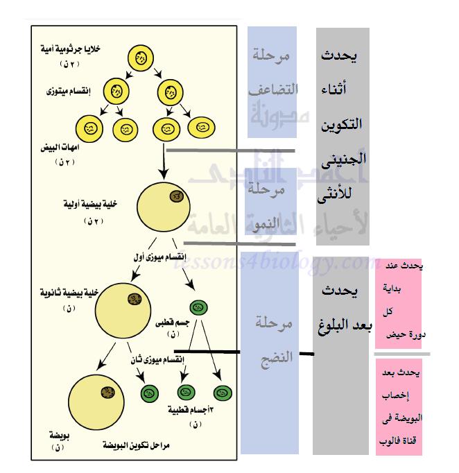 تطور الحويصلات والبويضات فى المبيض - مراحل تكوين البويضة - الجهاز التناسلى فى الإنسان