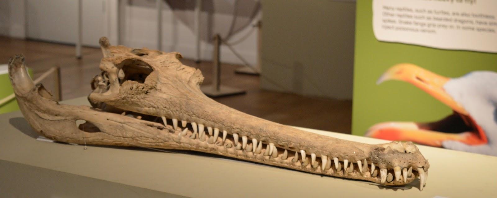 Bones Exhibition at Hancock Museum, Newcastle - crocodile skull