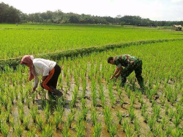 Serda Toni Suwandi bersama Petani Lakukan Penyisipan Tanaman Padi Yang Dimakan Keong Mas