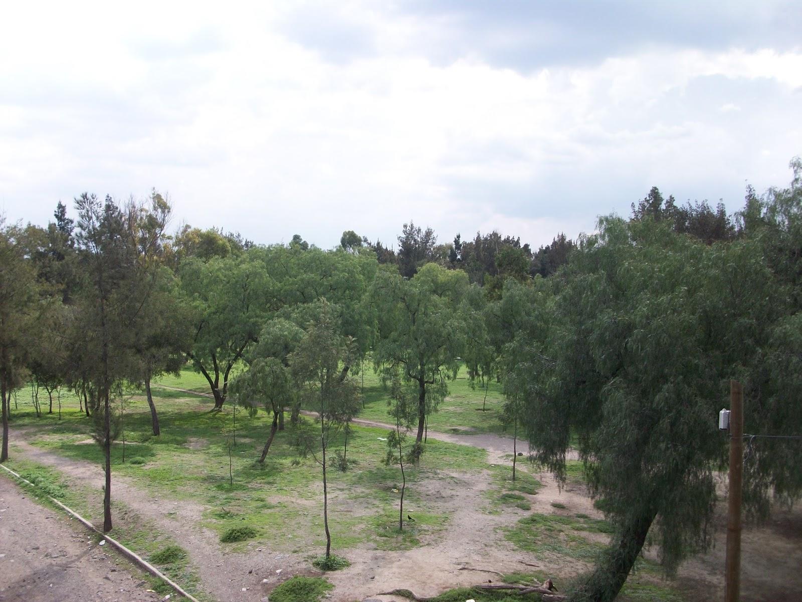 Zanate mexicano (Quiscalus mexicanus)