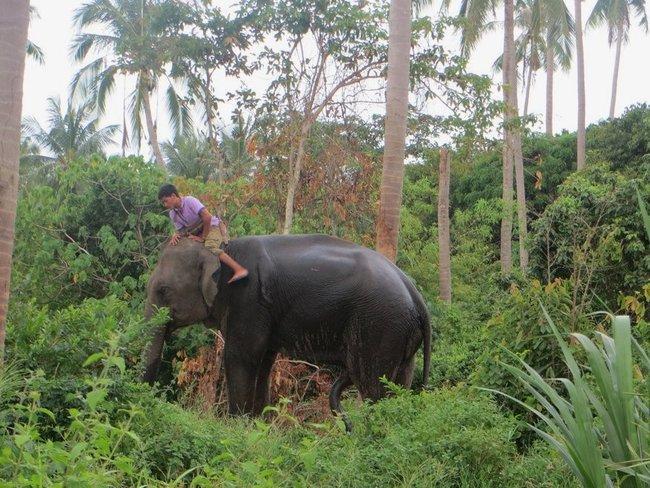 У слона стоит