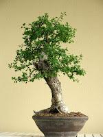 http://evoluzionebonsai.blogspot.it/2014/04/bonsai-di-biancospino-crataegus.html