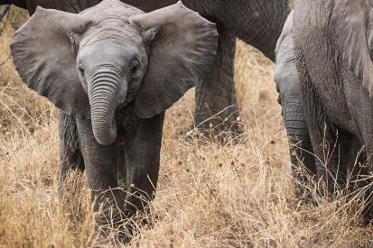 9. Elephant