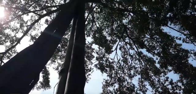 """Bí ẩn quanh cây """"3 gốc - 1 ngọn"""" trên núi Chứa Chan"""