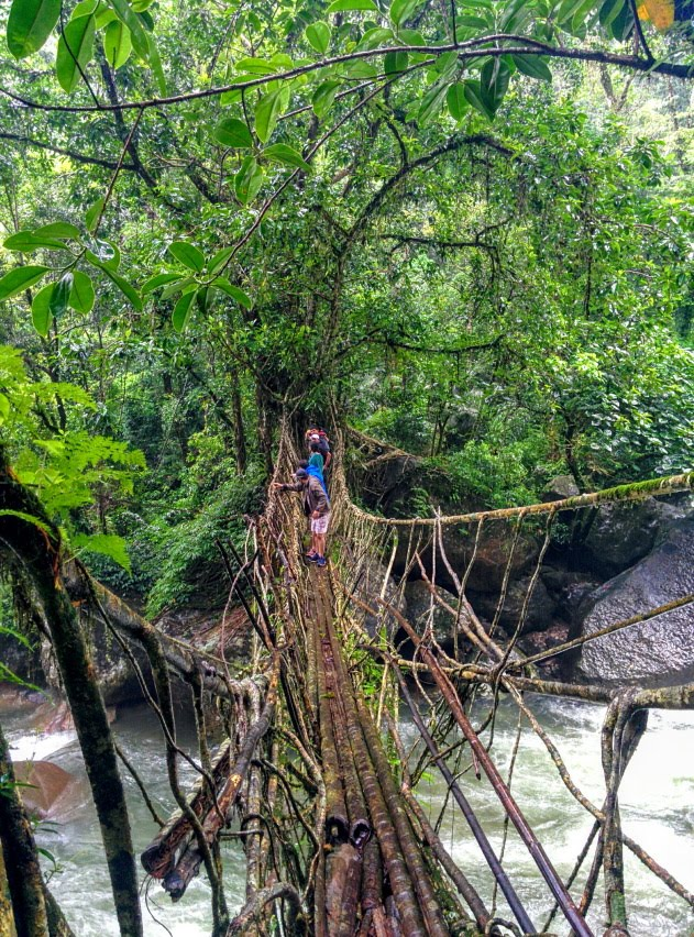 The Nongthymmai living root bridge sturdy as concrete, Meghalaya