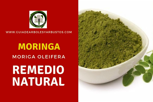 La Moringa, Moeiga oleifera, es un remedio natural para la diabetes, colesterol, hipertensión, asma, tos, entre otros