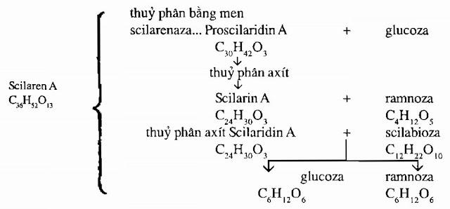 Phản ứng hóa học Hành Biển - Scilla maritima - Nguyên liệu làm thuốc Chữa bệnh Tim