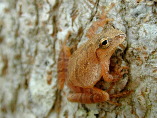 Spring Peeper facts and information 5