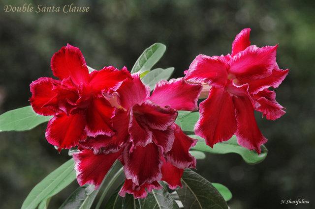 Adenium obesum cv. Double Santa Clause:
