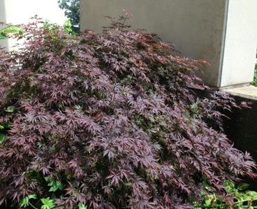 Dane County Extension Teaching Garden Acer Palmatum Wolff