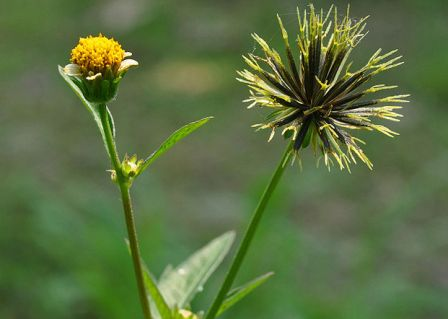 20 Khasiat Bunga Ajeran Untuk Kesehatan Dan Kecantikan