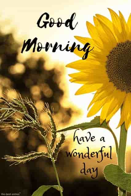 good morning wishes with sunflower