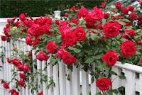 РОЗЫ, как посадить розу