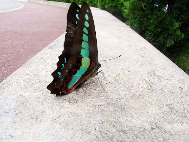 Blue Triangle, butterfly