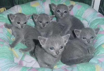 Anak Kucing Russian Blue