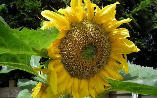 Grote gele kop van een zonnebloem