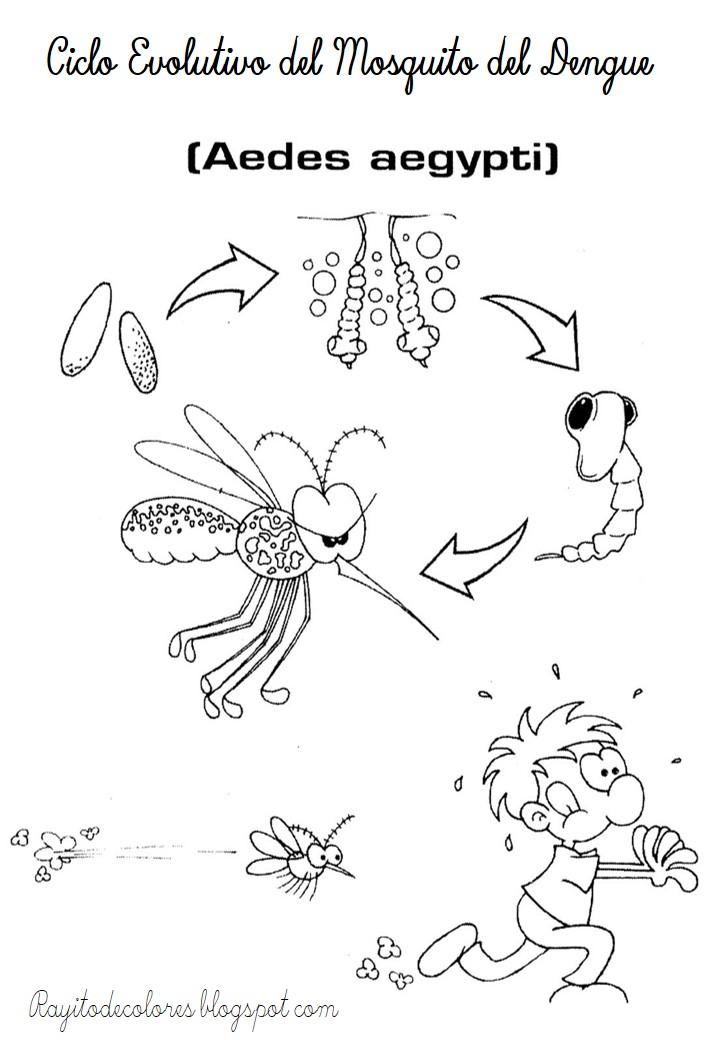 Ciclo evolutivo del Mosquito del dengue