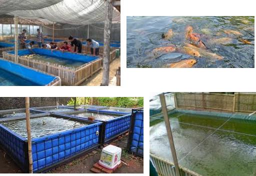 budidaya ikan mas di kolam beton budidaya ikan mas di kolam terpal pakan ikan mas supaya cepat besar