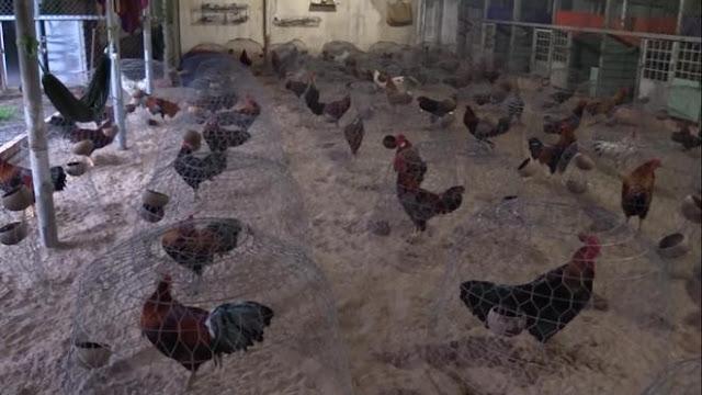 Hàng chục con gà được nhốt trong lồng để chuẩn bị đá