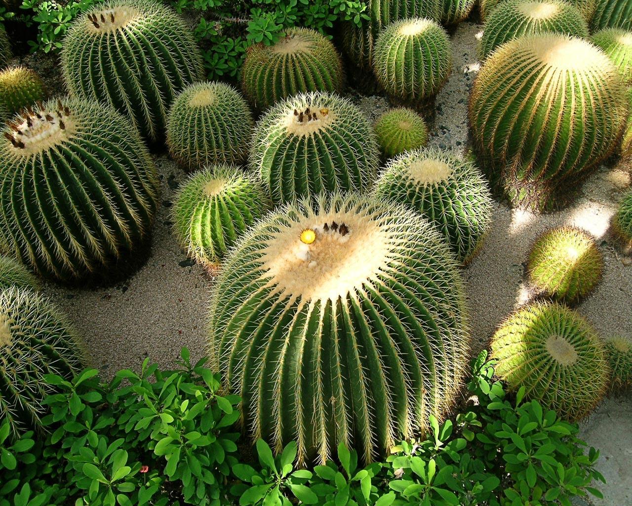 arte y jardiner a cactus el desierto en casa. Black Bedroom Furniture Sets. Home Design Ideas