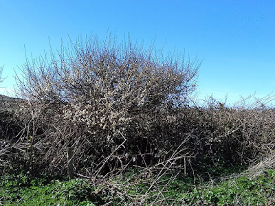 Spring On The Allotment - Blackthorn - Flowering