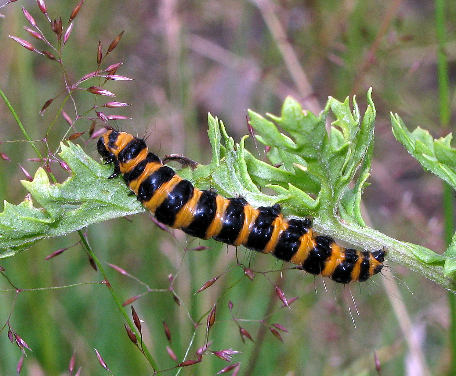 Butterfly caterpillar identification