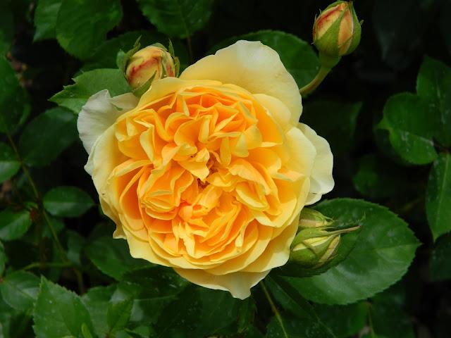 Ruža Graham Thomas (Ausmas)