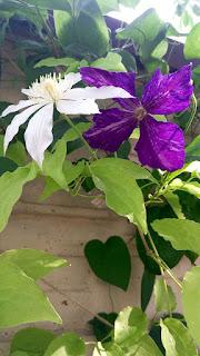 цветок клематис посадка
