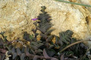 Callisie naviculaire - Callisia navicularis - Tradescantia navicularis