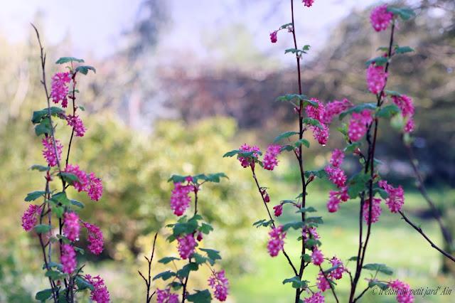 floraison rose au printemps