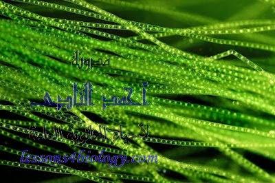 طلحب الإسبيروجيرا - الريم الأخضر - التكاثر الجنسى - الإقتران