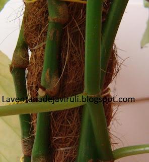 tallo-begonia-lucerna