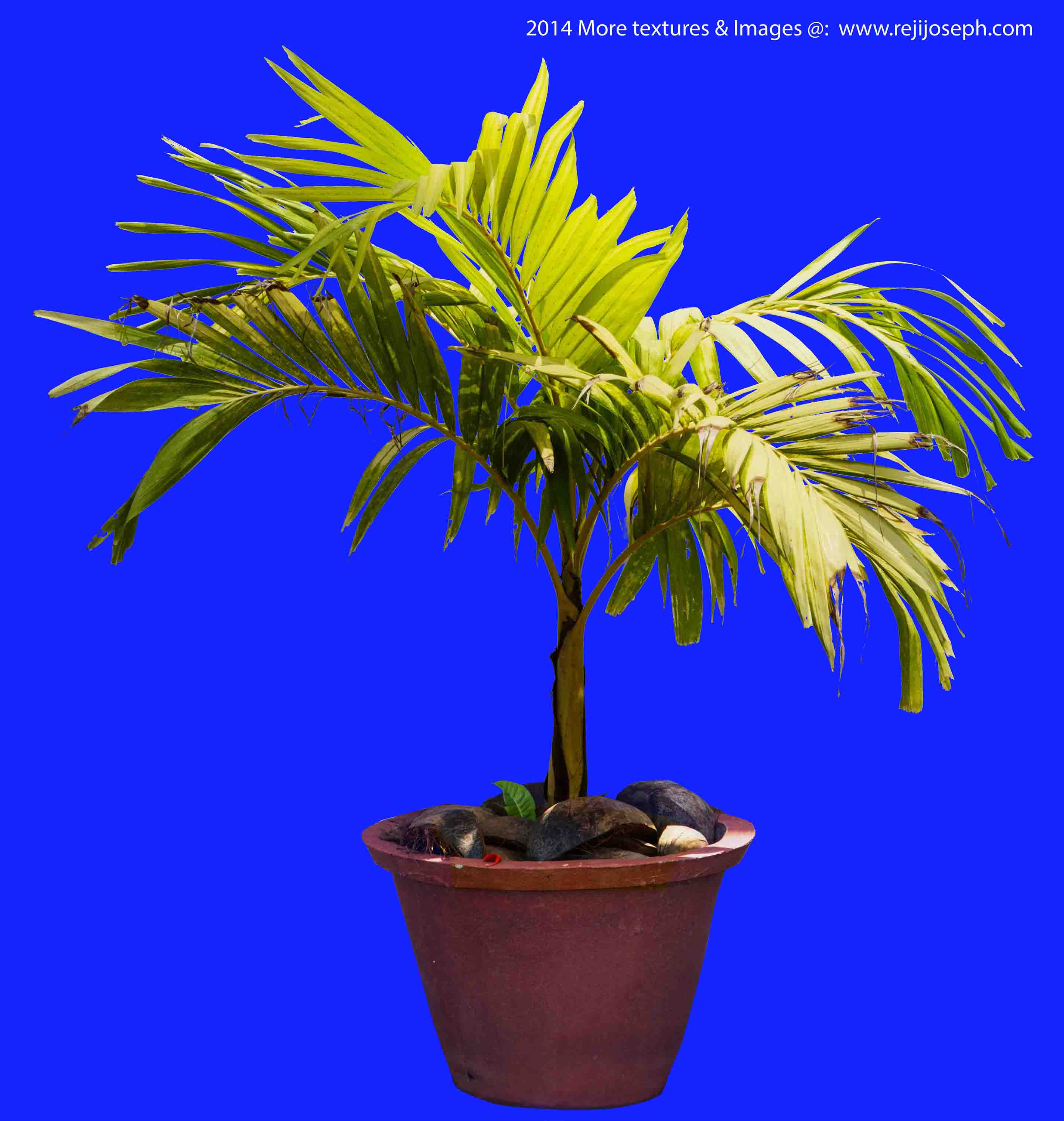 Betel nut palm tree Garden Plant Texture 00004