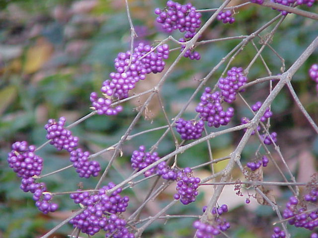 Callicarpa bodinieri var. giraldii 'Profusion' with its attractive purple berries