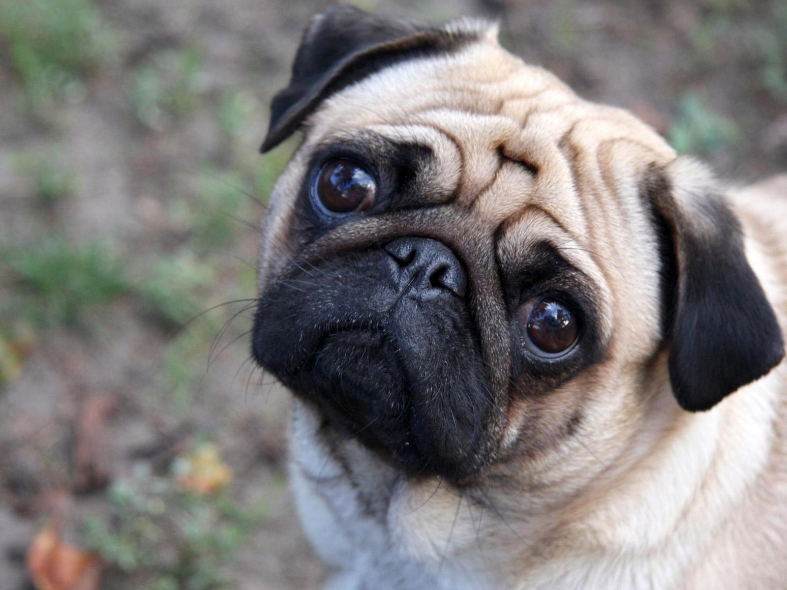 Pink Wallpaper With Cute Puppy Golden Retriever Cute Dogs Pug Dog