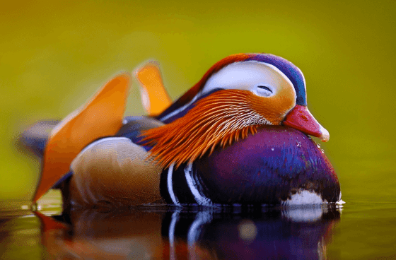 12 Mysterious But Beautiful Creatures You've Probably Never Seen - THE MANDARIN DUCK