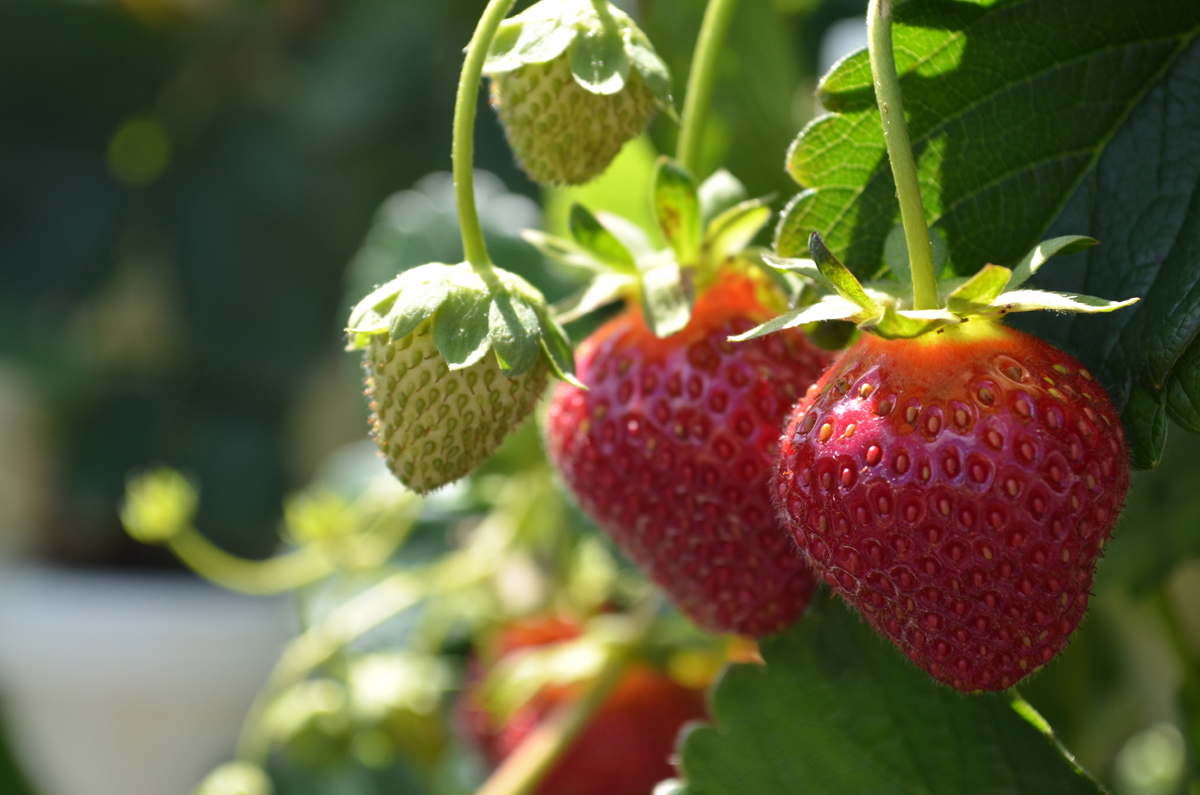 Ison's Through The Grapevine: Strawberry Plugs: How to ...