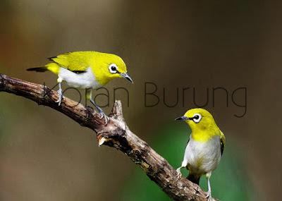 Memilih dan mempersiapkan calon indukan Cara Tepat Beternak/Breeding Burung Pleci