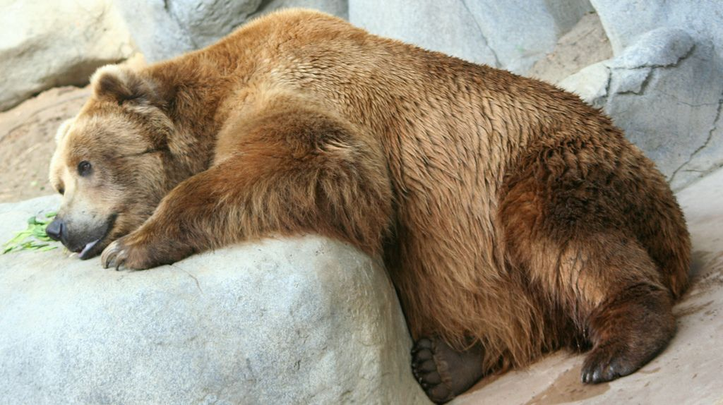 13. Brown Bear Snoozing by AndyOgnenoff