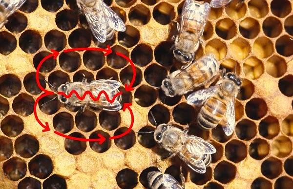 Τι δείχνει ο χορός των μελισσών;