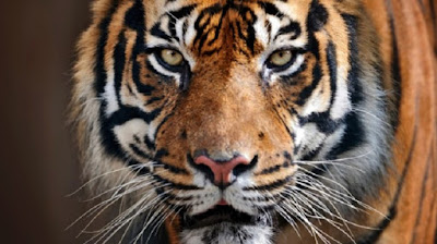 World's wild tiger count rising for first time in a century