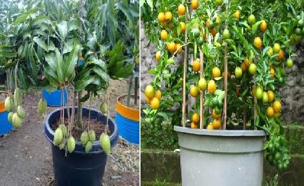 Tips Praktis Agar Tanaman Di Pot Berbuah Lebat