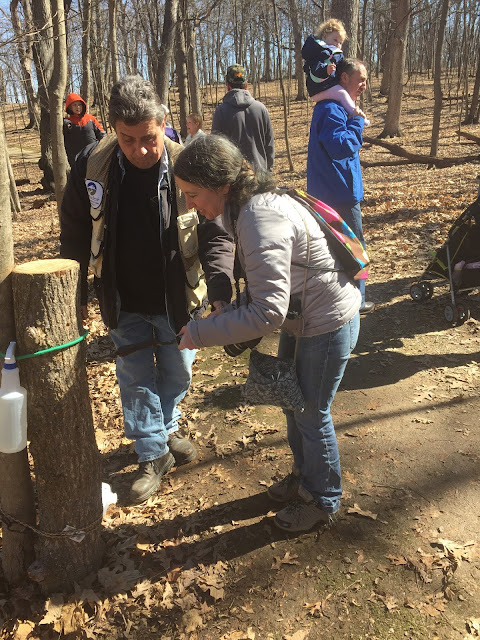 Learning how to tap a maple tree at the Festival of the Sugar Maples