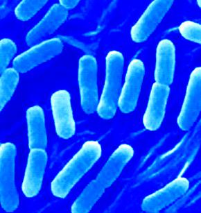 Basil gram-negatif jumlahnya banyak sekali, tetapi organisme yang paling banyak diteliti ialah Escherichia coli yang menghuni usus manusia tetapi tidak menimbulkan kerusakan pada inangnya. Sebenarnya organisme ini membantu kita dengan mensintesis vitamin K dan sebagian dari vita-min B, agar dapat diserap oleh saluran pencernaan.