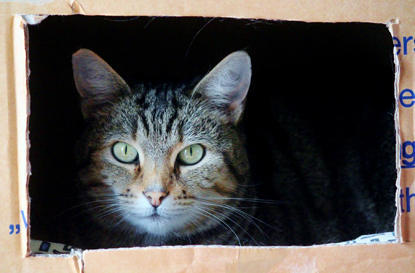 tabby cat in cardboard box