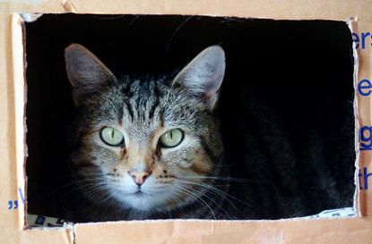 tabby cat in cardboard box