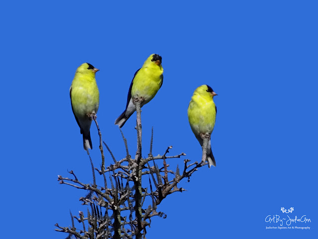 Three Yellow Birds Photo