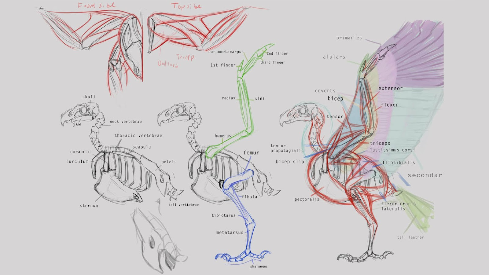 Bird Life Cycle Diagram Human Muscular System Labeled Bald Eagle Bone Structure Bing Images